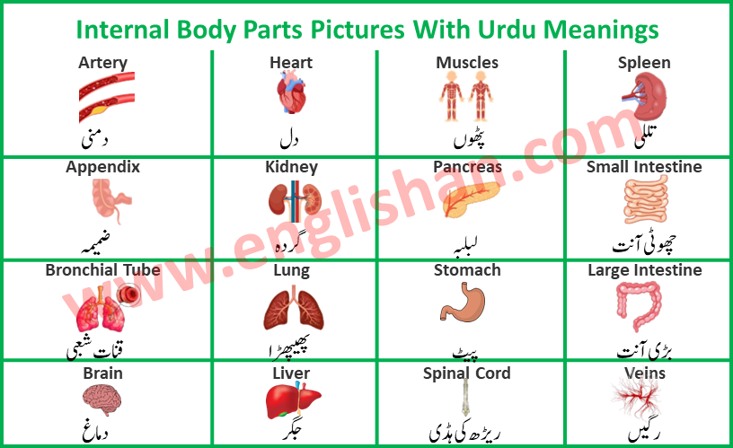 Internal Body Parts Pictures With Urdu Meanings